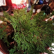 Rose of Jericho-Wealth, Purification, Communication with Spirits