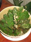 Double Rose of Jericho-Wealth, Purification, Communication