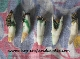 Loaded Alligator Tooth-Charm for Money, Success, Prosperity